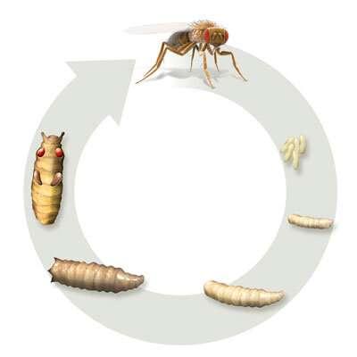 Changes in nutrient storage and metabolism help fruit flies reach maturity
