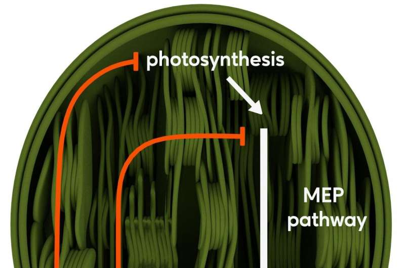 Chemical signal in plants reduces growth processes in favor of defense
