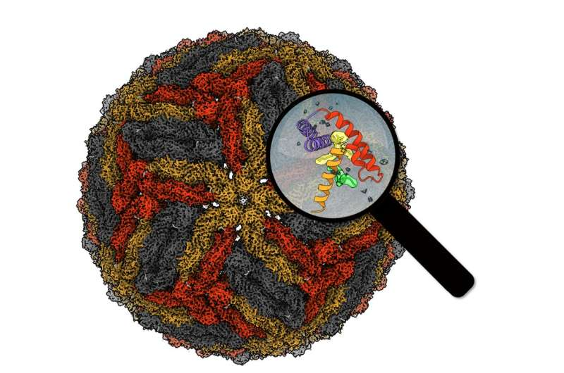 Chimeric viruses unearth hidden gems in dengue virus structure