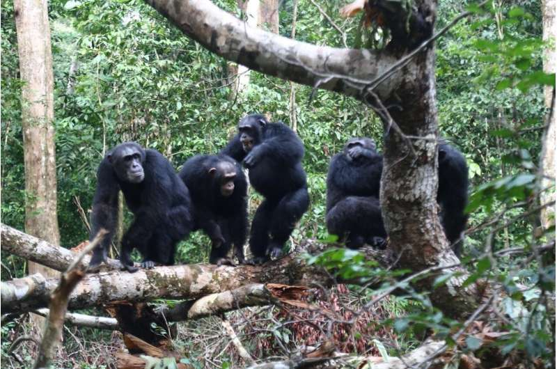 Chimpanzee friends fight together to battle rivals