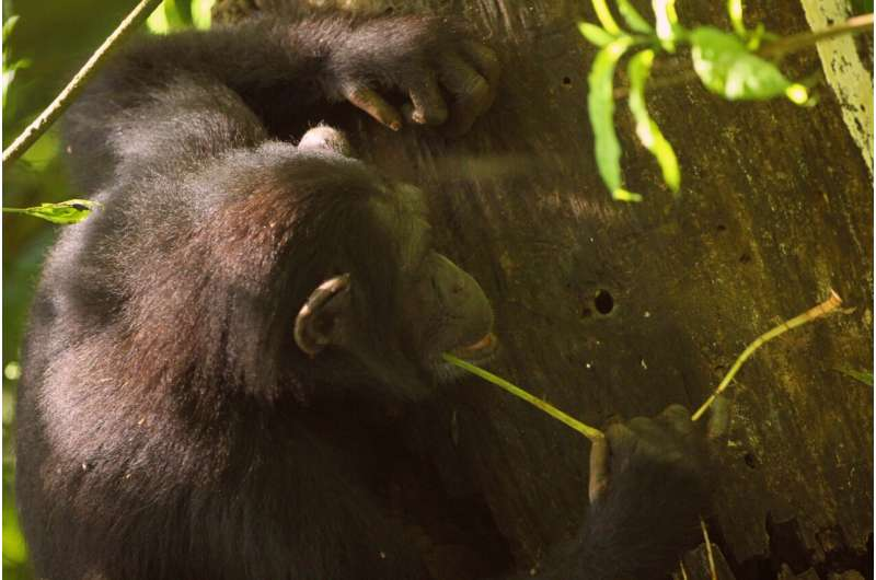 Chimpanzees have not entered the stone age