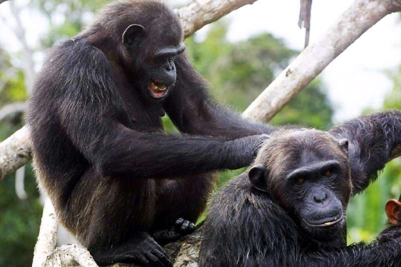 Chimps are often referred to as being the most 'humanlike' non-human species