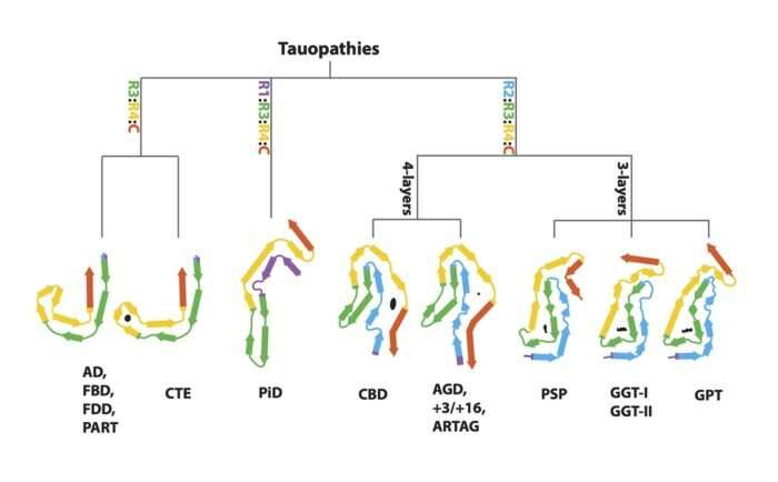 Classification of human tauopathies based on tau filament folds