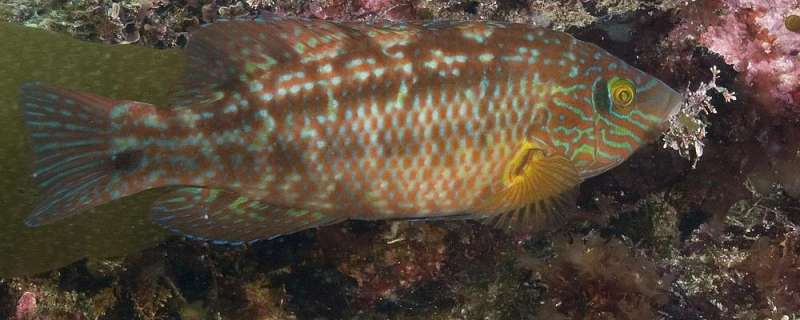 Cleaner fish from salmon farming affect wild populations