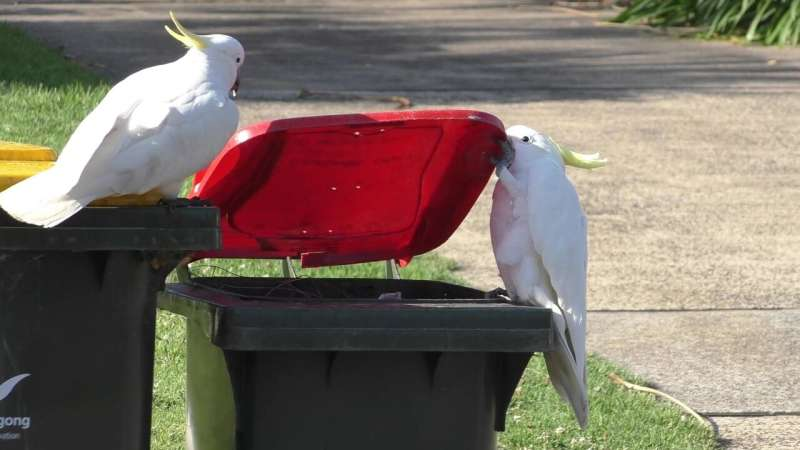 Clever cockatoos learn through social interaction