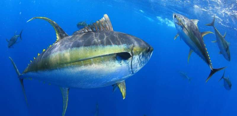 Climate change is causing tuna to migrate, which could spell catastrophe for the small islands that depend on them