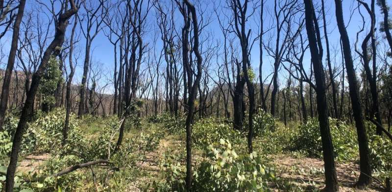 Climate change is testing the resilience of native plants to fire, from ash forests to gymea lilies