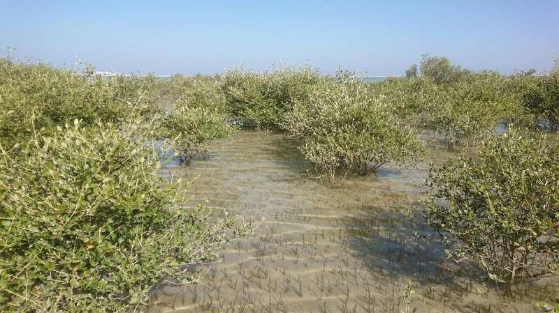 Climate change caused mangrove collapse in Oman