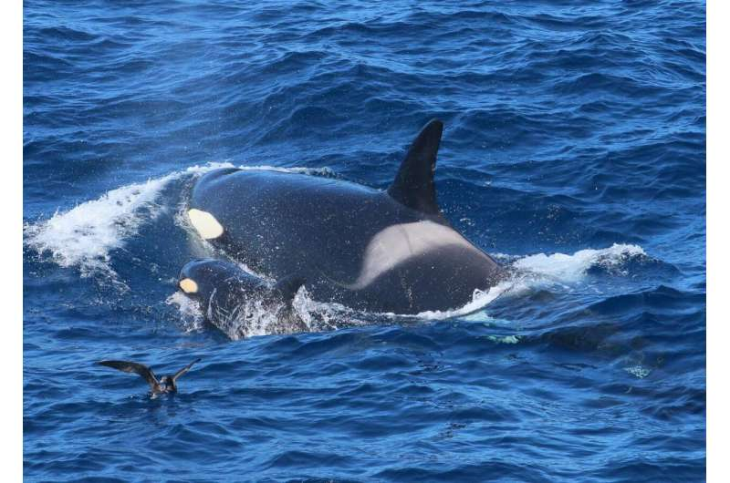 Clue to killer whale cluster