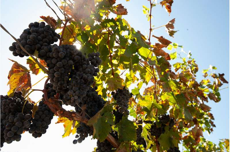 Coastal grape growers can use less water during drought