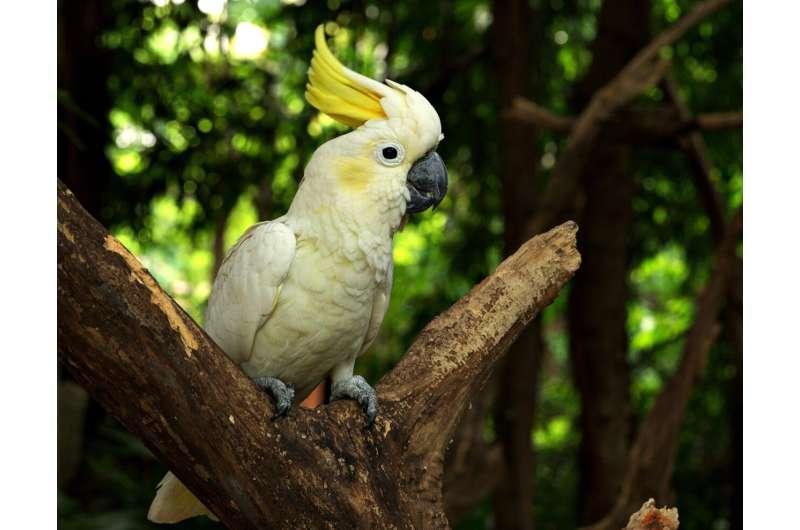 cockatoo