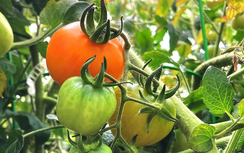 Color and flavor – pigments play a role in creating tasty tomatoes