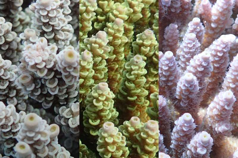 Colorful connection found in coral's ability to survive higher temperatures
