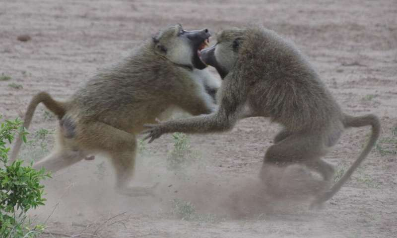 Competing for high status speeds up aging in male baboons