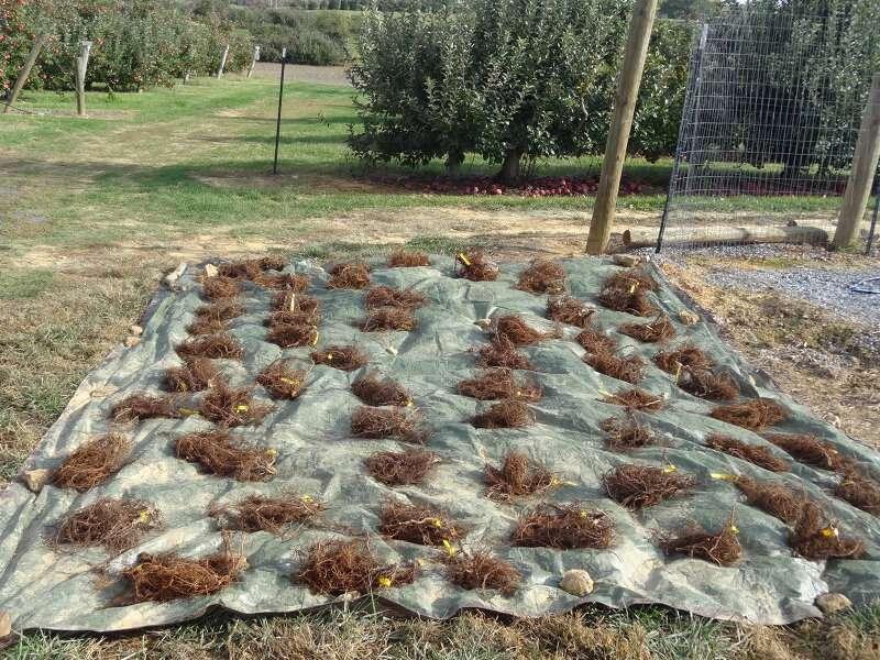 El compost mejora la sostenibilidad de los manzanos