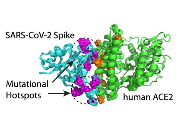 """Computer-based modeling can predict mutation """"hotspots"""" and antibody escapers in the SARS-CoV-2 spike protein"""