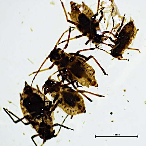 Conservation concern as alien aphid detected on Kangaroo Island