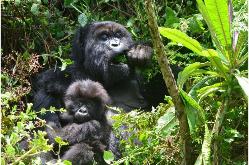 Conservation success leads to new challenges for endangered mountain gorillas
