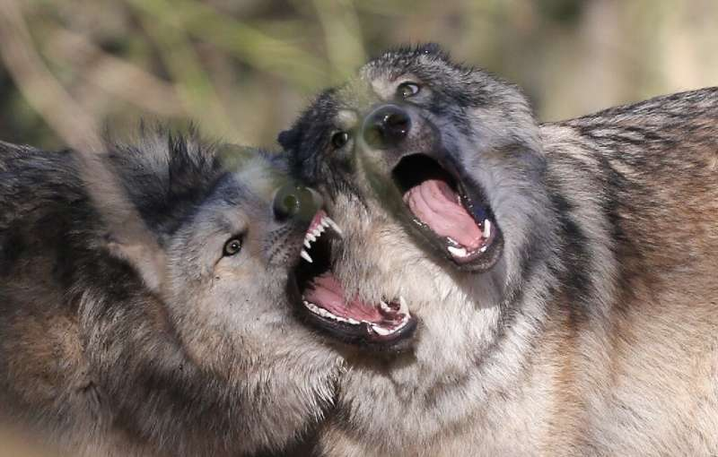 Conservationists have pushed to protect European wolves but farmers complain that they kill livestock