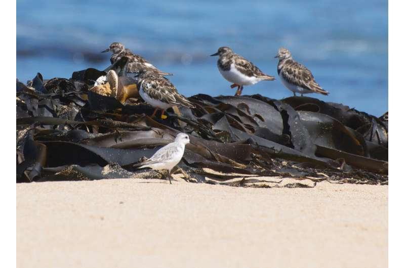 Conserving coastal seaweed key for migrating sea birds