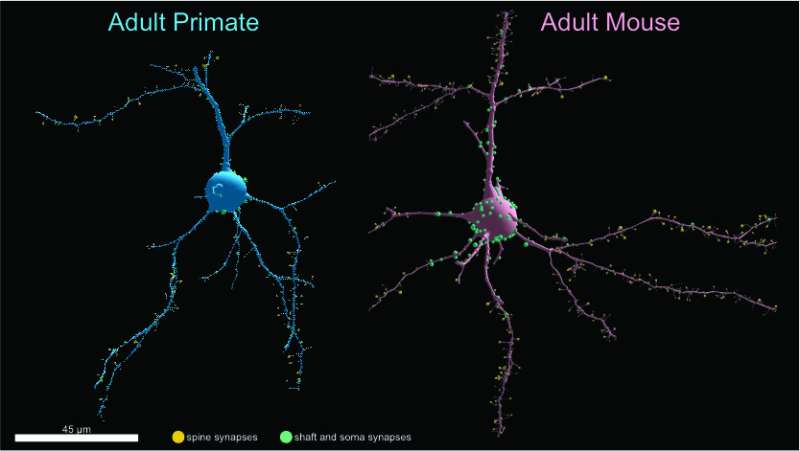 Contrary to expectations, study finds primate neurons have fewer synapses than mice in visual cortex