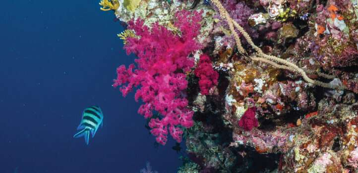 Corals go hungry long before they bleach