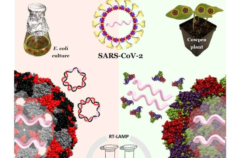 Coronavirus-like particles could ensure reliability of simpler, faster COVID-19 tests