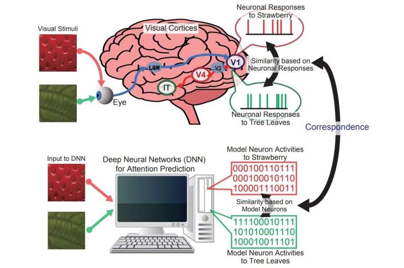Correspondence between representations in visual cortices and neural networks