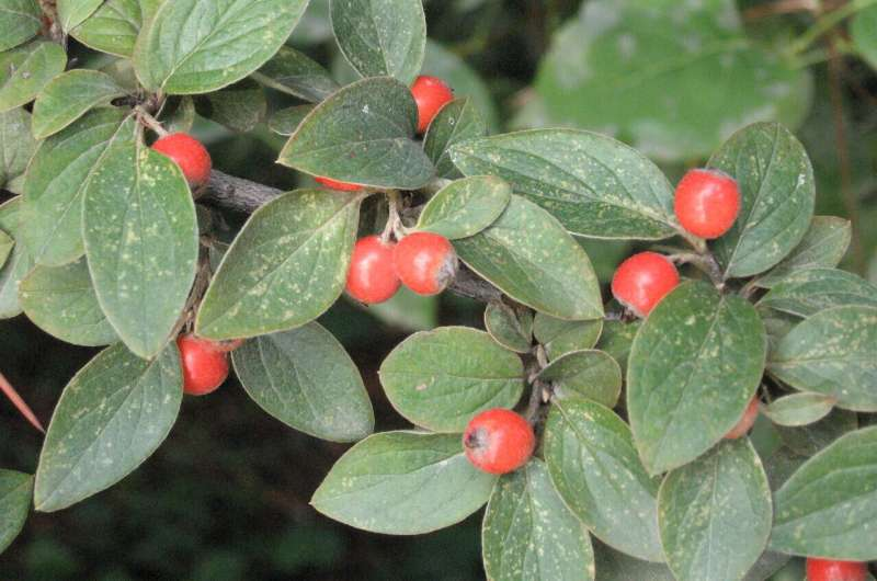 Cotoneaster franchetii