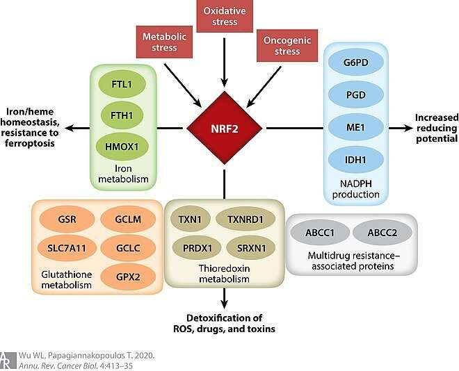 Could NRF2 be your magic molecule for eternal youth?