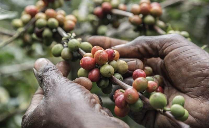Las consecuencias socioeconómicas de COVID-19 amenazan la industria mundial del café
