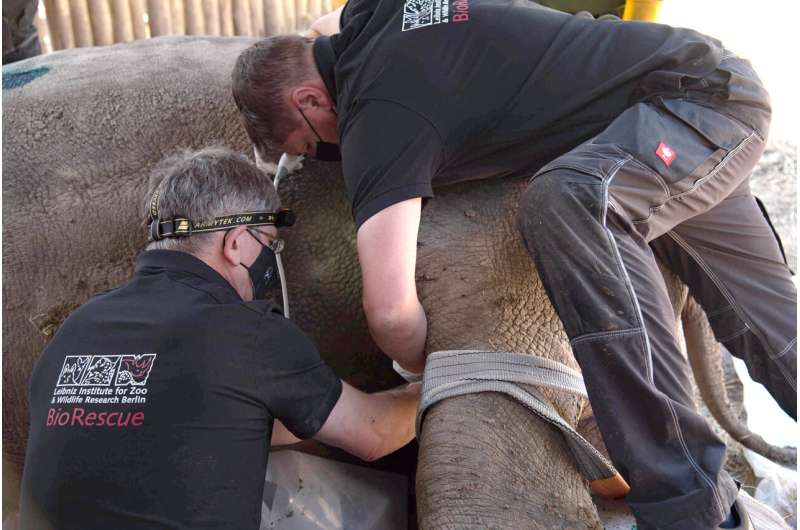 Covid-19 vs conservation - how the northern white rhino rescue programme overcame challenges