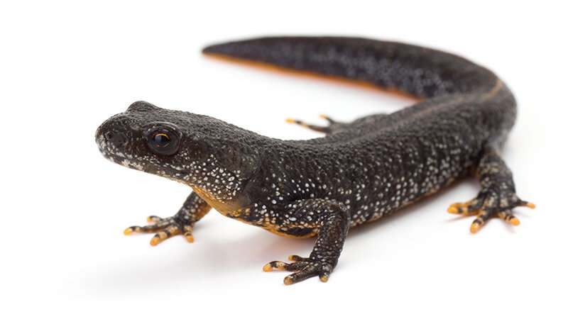 Cranfield soil data helps save great crested newts