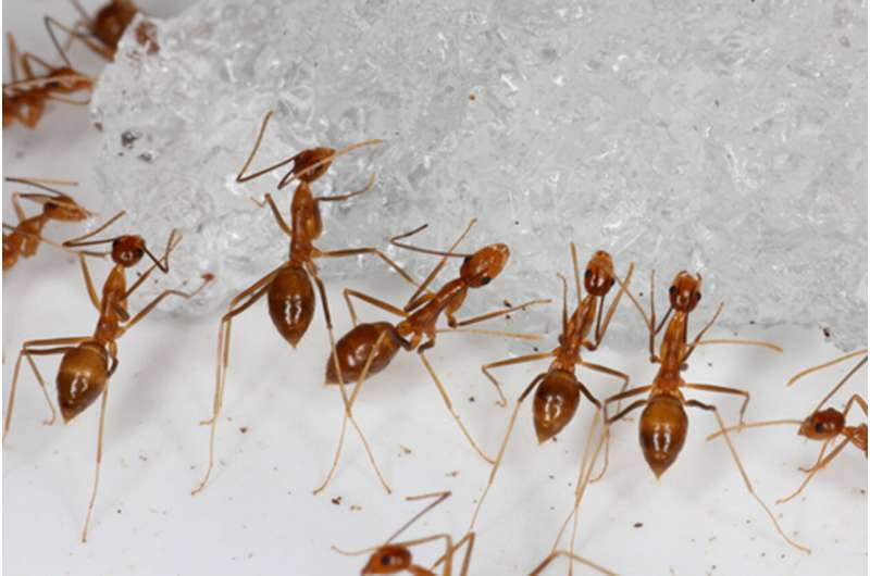 'Crazy' ants that kill birds eradicated from Pacific atoll