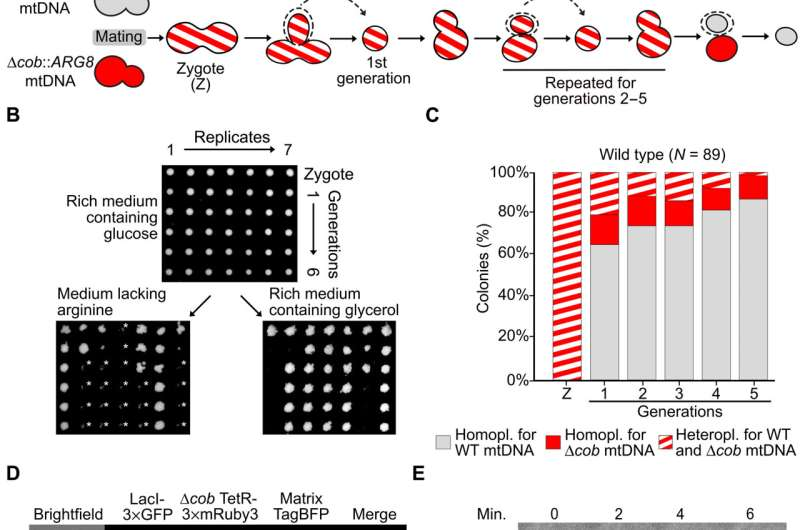 Cristae-dependent quality control of the mitochondrial genome
