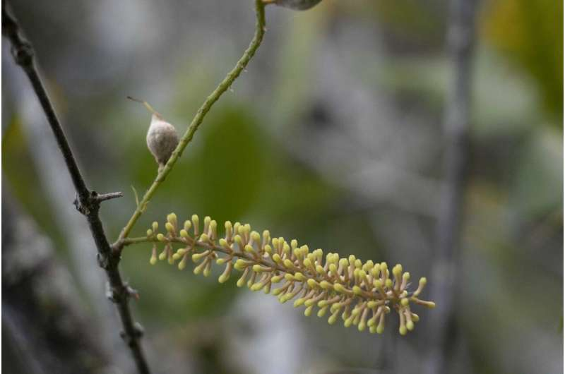 Critically endangered macadamia species becomes a plant supermodel
