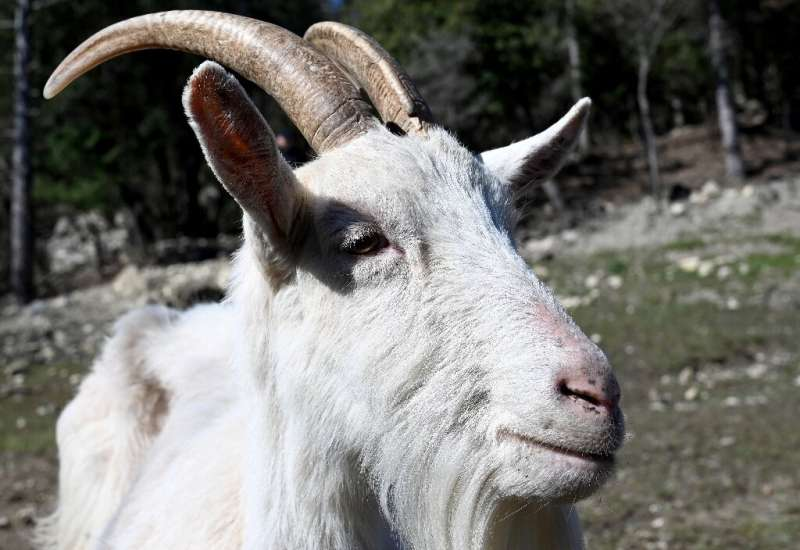 Croatia's Istrian goat population has dwindled down to a few dozen, prompting local authorities to launch a conservation program