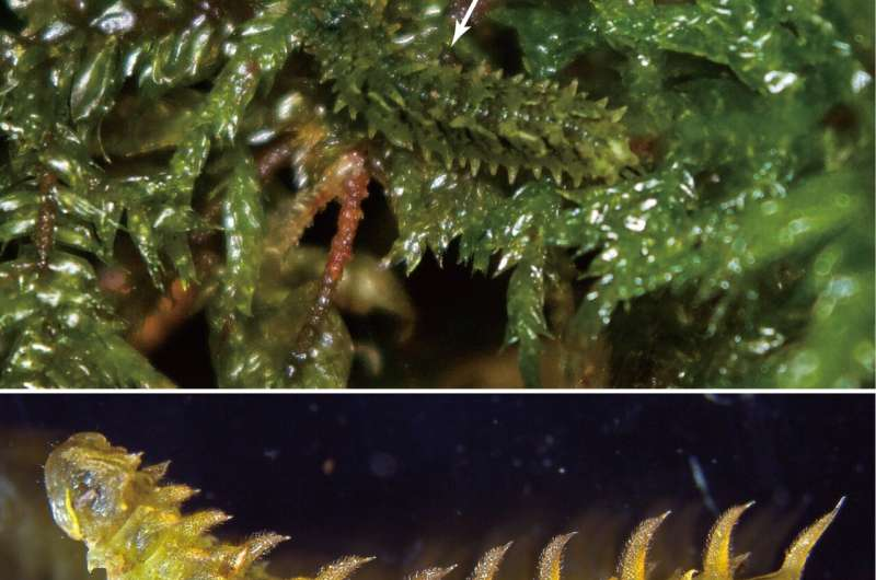 Cryptic fleshy coat aids larvae in crawling on a moss carpet