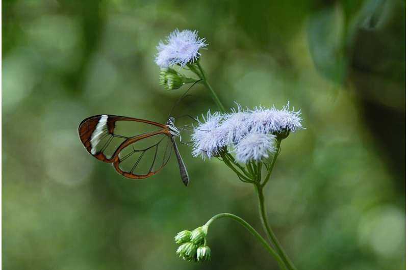 Crystal clear: Lepidopterans have many ways of being transparent