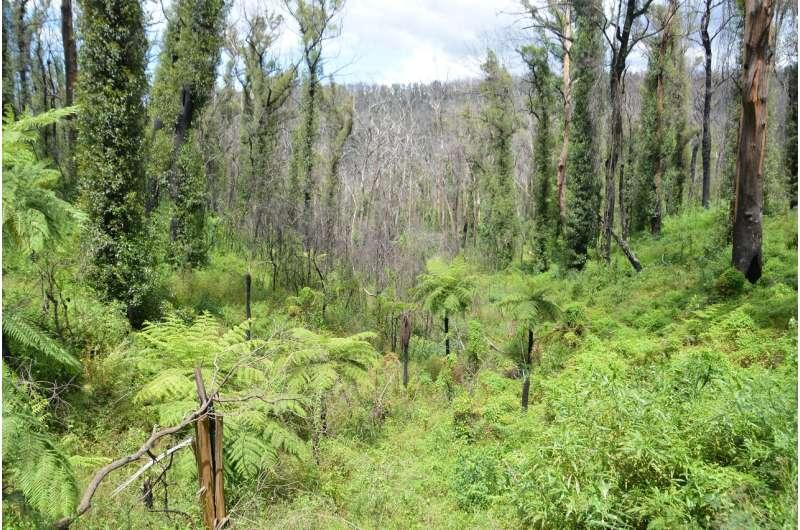 CSIRO identifies plants most at risk after Black Summer megafires