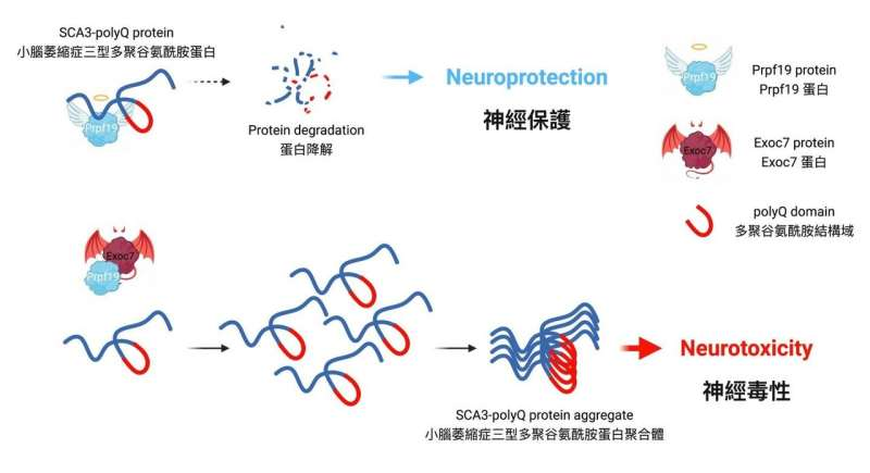 CUHK unveils balance between two protein counteracting forces in hereditary ataxias