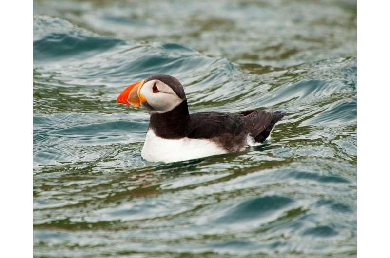 Cyclones starve North Atlantic seabirds