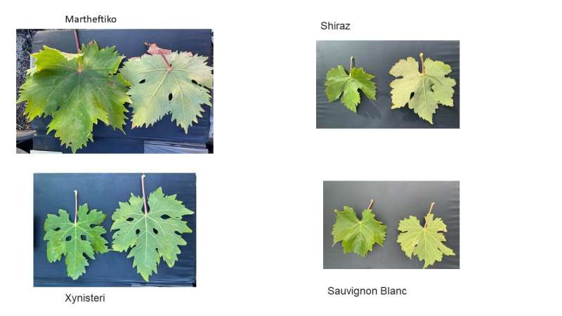 Cypriot grapes perform well in heat and on taste