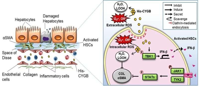 Cytoglobin: key player in preventing liver disease