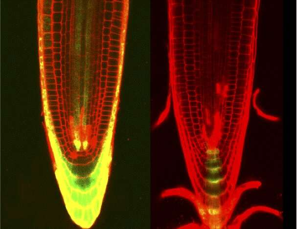 Damage control: Plants juggle genome maintenance and growth by being organized