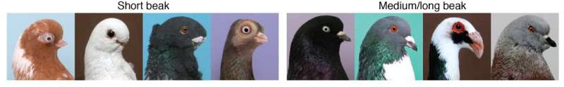 Darwin's short-beak enigma solved