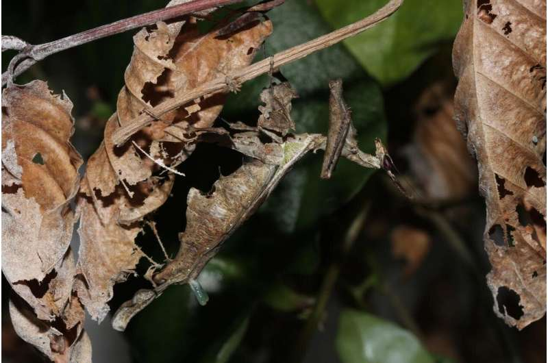 Dating in a jungle: Female praying mantises jut out weird pheromone gland to attract mates
