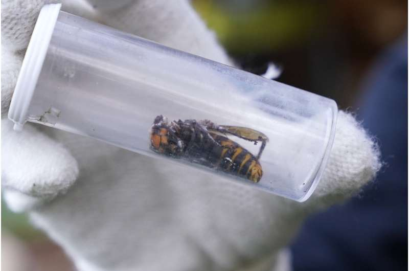 Dead 'murder hornet' near Seattle is 1st found in US in 2021