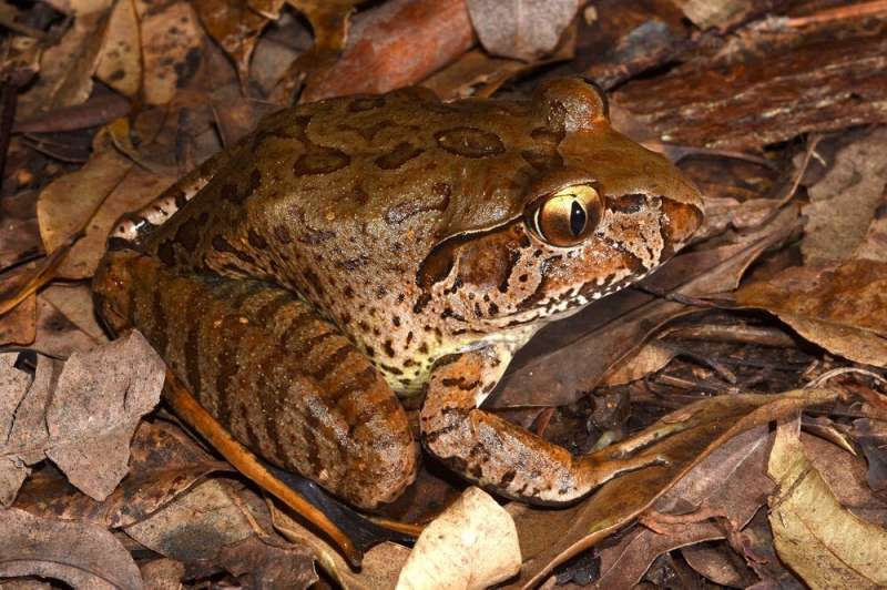 A dead, wrinkled frog appears unexpectedly in eastern Australia.I need your help to find out the reason