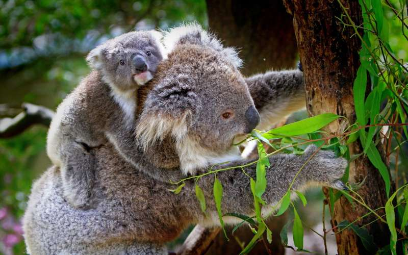 Deadly koala virus being passed to joeys from mum